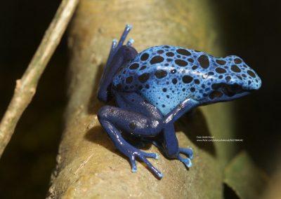 Blå farvefrø