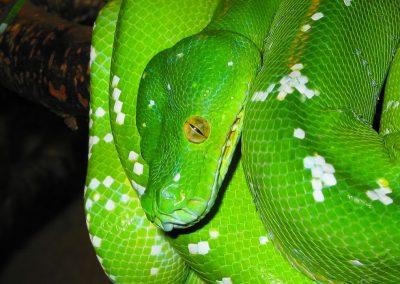 Grøn træpyton