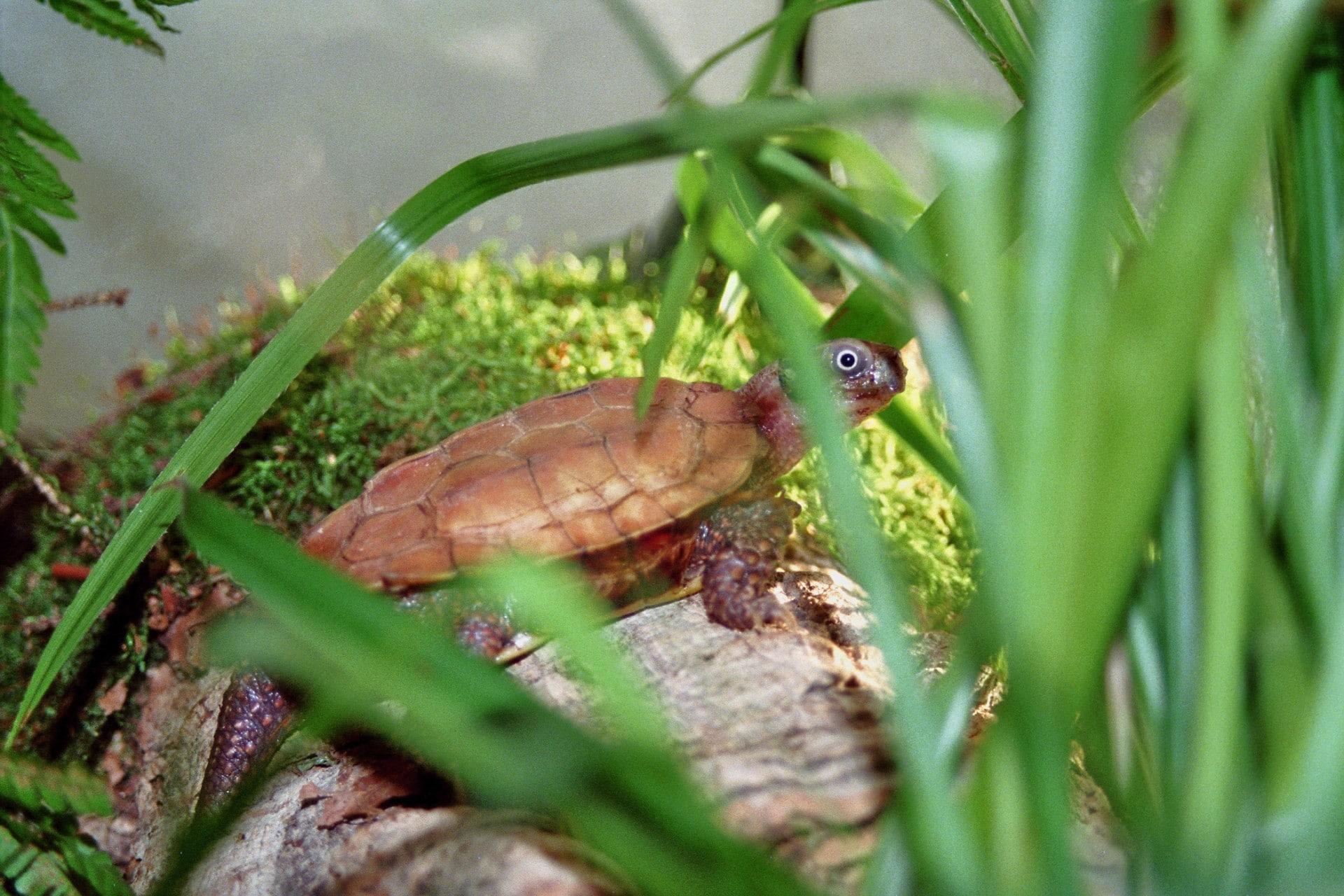Vietnamesisk bladskildpadde1