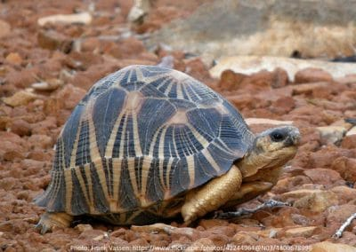 Stråleskildpadde