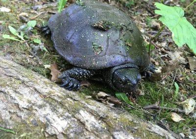 Europæisk sumpskildpadde