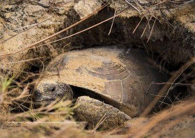 Goferskildpadde