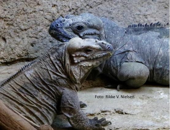 næsehornsleguan