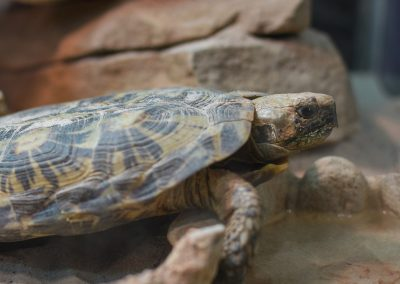 Pandekage-           skildpadde
