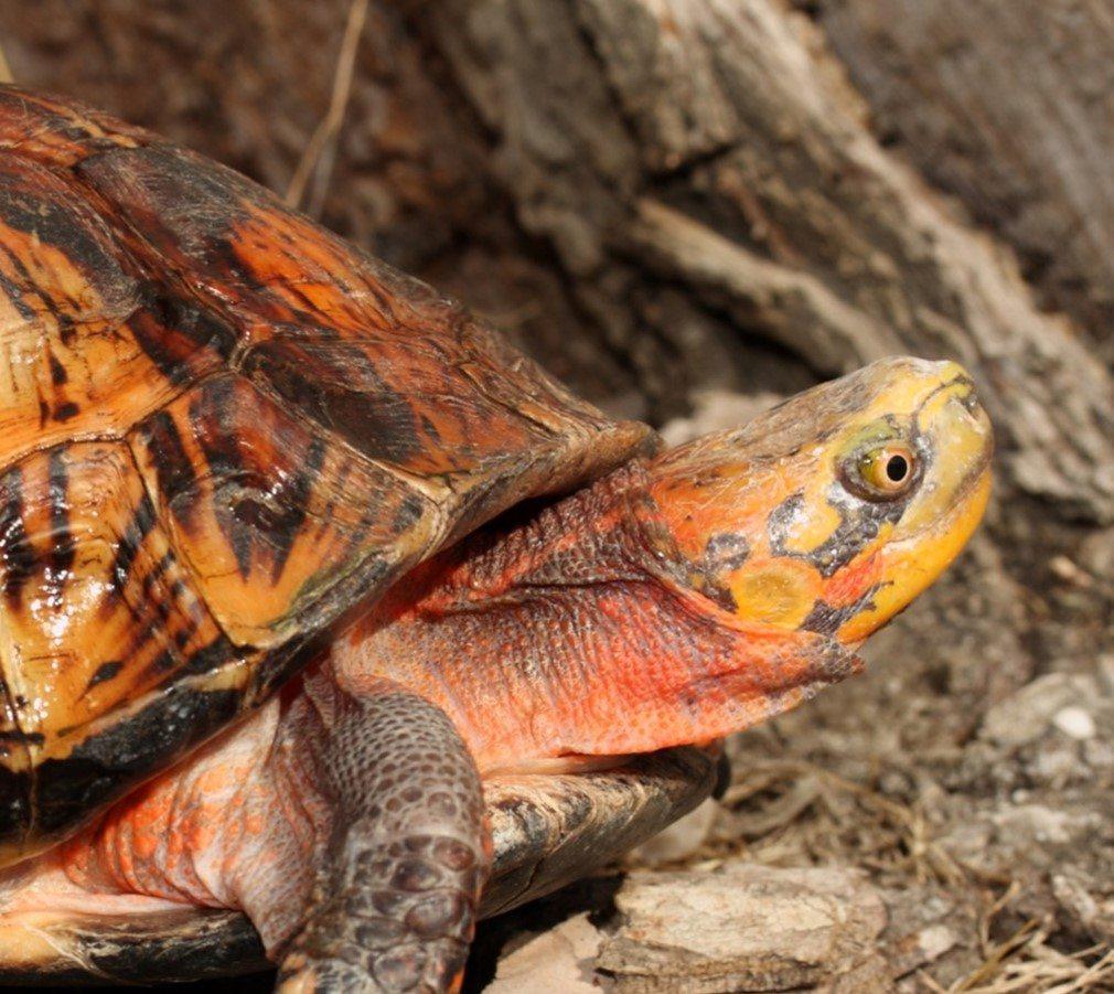 Vietnamesisk æskeskildpadde (Cuora galbinifrons)