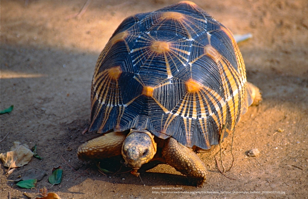 Stråleskildpadde (Radiata astrochelys)