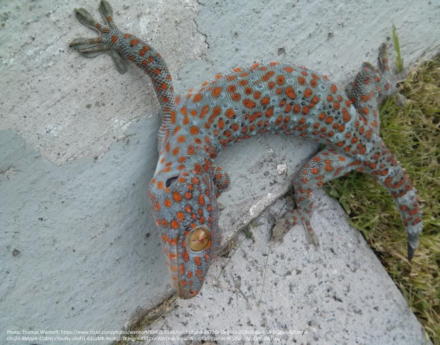 billede 3 g. gekko