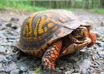 Amerikansk Æskeskildpadde