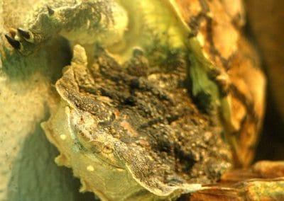 Frynseskildpadde