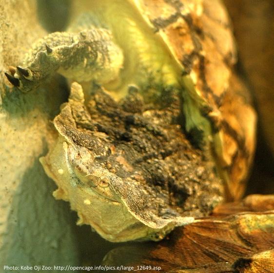 Billede2 C. fimbriatus