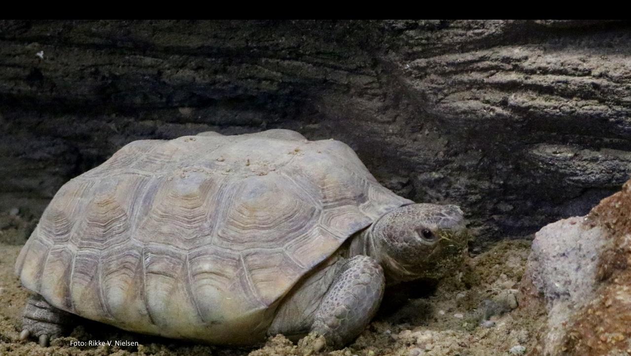 banner gopherskildpadde