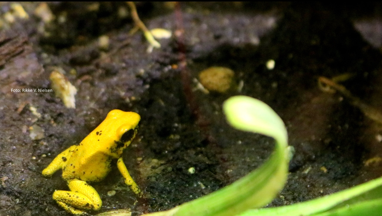 gul frø
