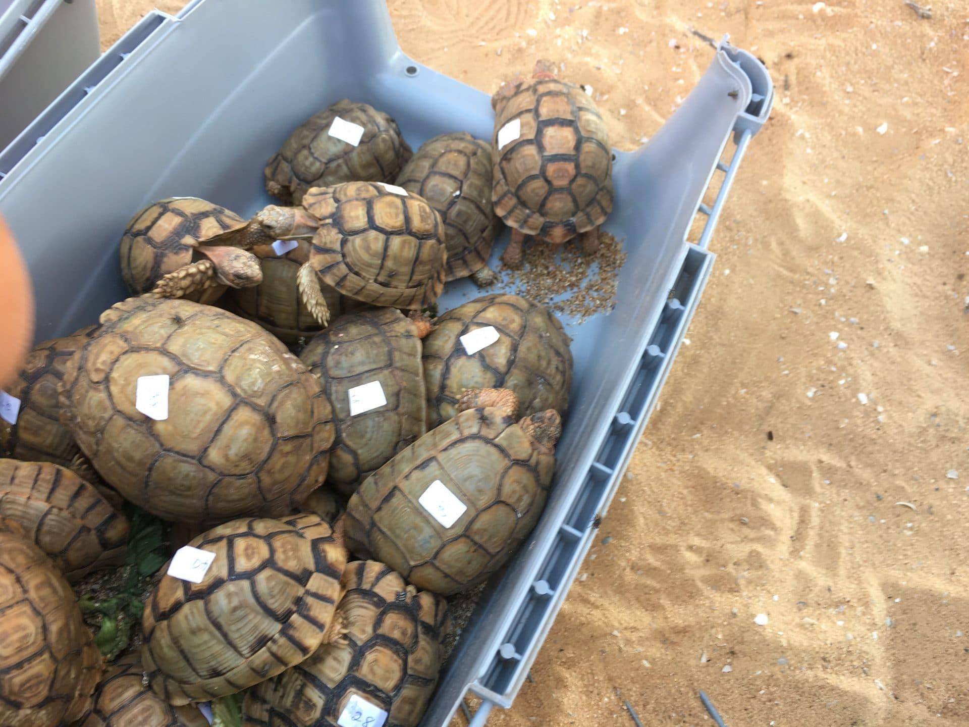 Konfiskering af egyptisk landskildpadde (Testudo kleinmanni)