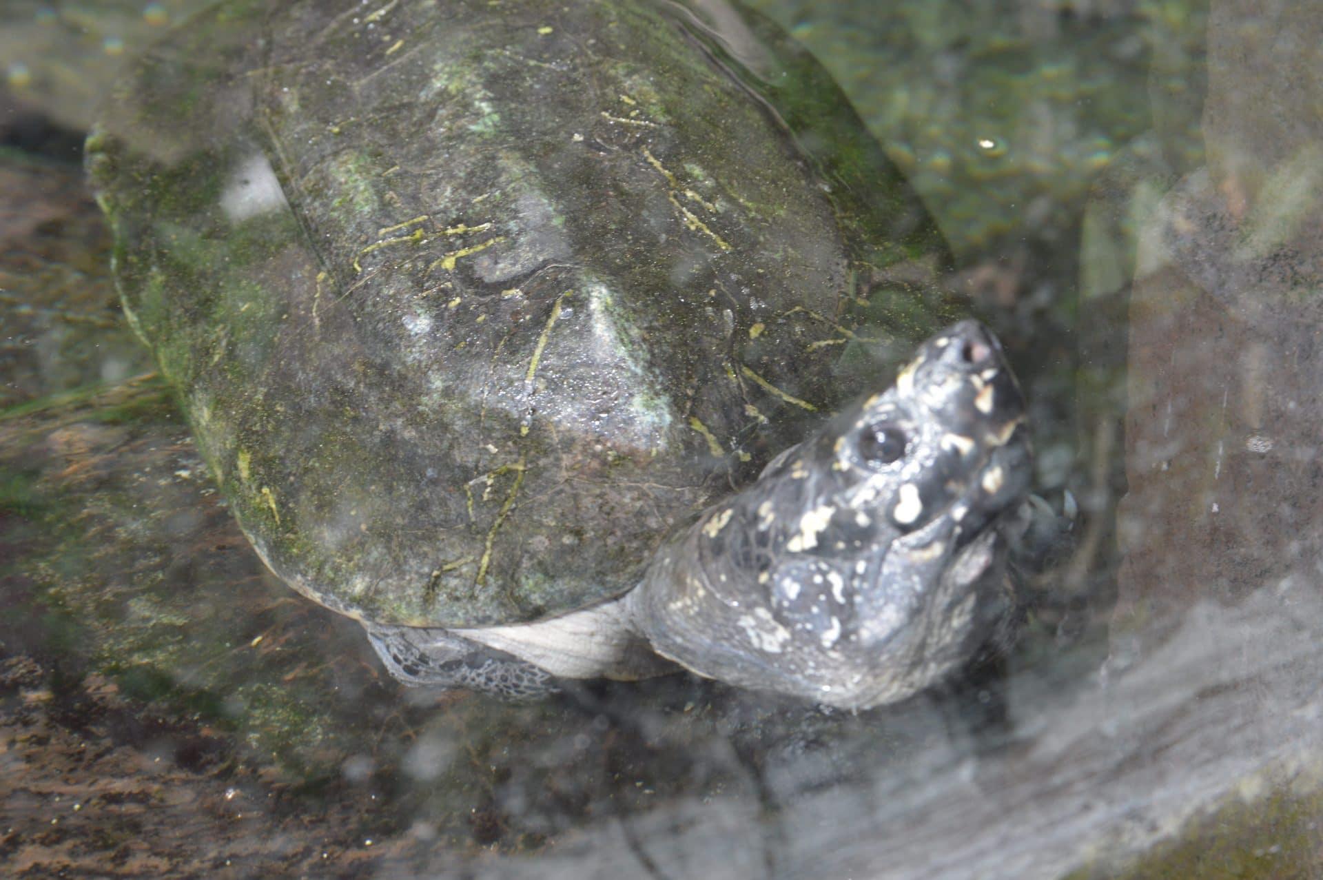 Sort damskildpadde (Geoclemys hamiltonii)