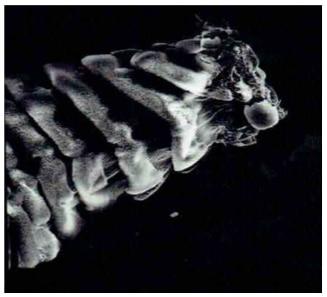 Riller på gekkoens tå (60x forstørrelse)