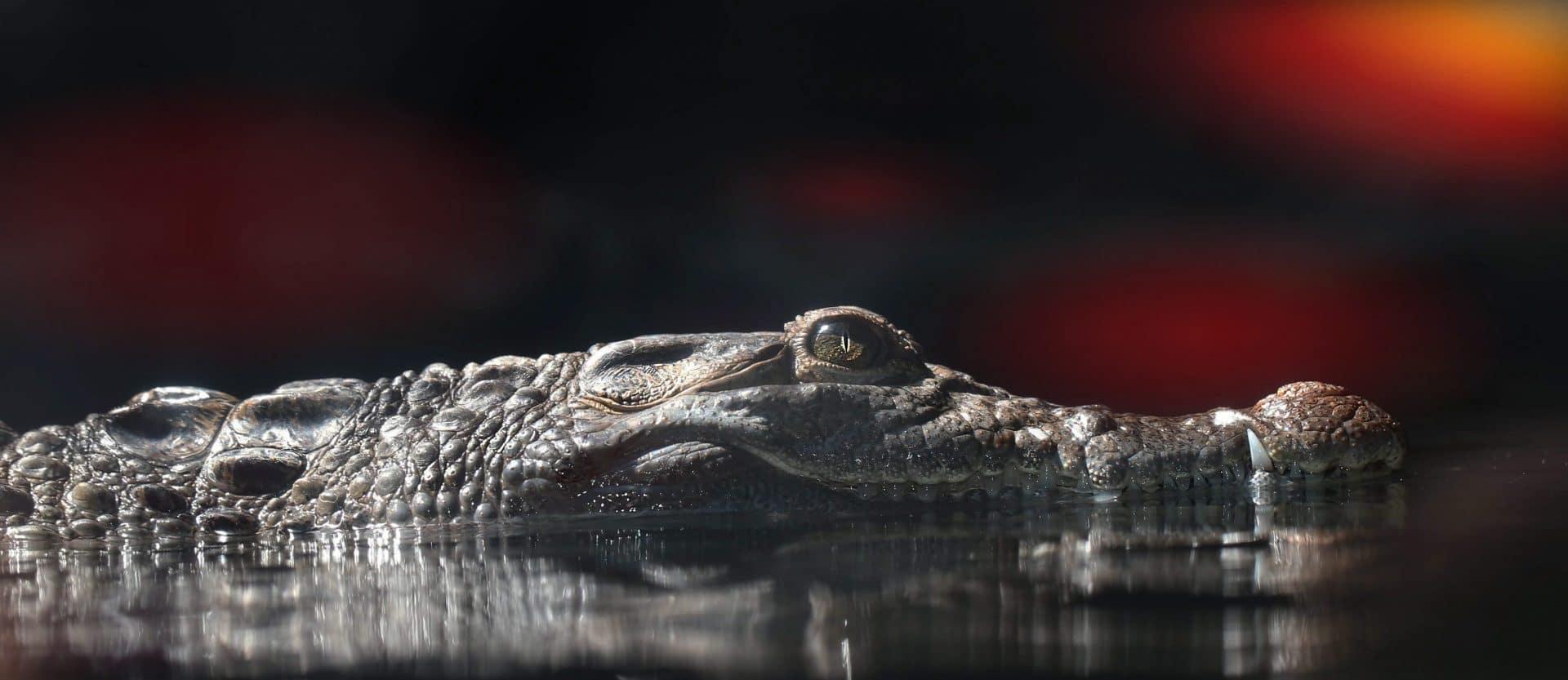Krokodille - Rudi